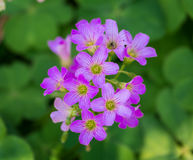 Λουλούδι τριφυλλιού τρεις-φύλλων στοκ εικόνα με δικαίωμα ελεύθερης χρήσης