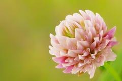 Λουλούδι τριφυλλιού Στοκ εικόνες με δικαίωμα ελεύθερης χρήσης