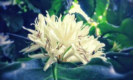 Λουλούδι τσαγιού Στοκ εικόνες με δικαίωμα ελεύθερης χρήσης