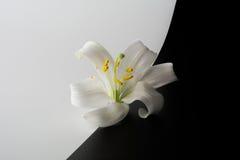 Λουλούδι των κρίνων Στοκ Φωτογραφία