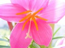 Λουλούδι των ρόδινων μακροπρόθεσμων εγκαταστάσεων Zefirantes Στοκ Φωτογραφία