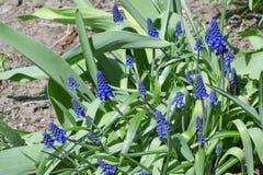 Λουλούδι υάκινθων σταφυλιών Στοκ εικόνα με δικαίωμα ελεύθερης χρήσης