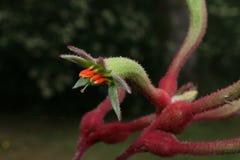 Λουλούδι δυτικών αυστραλιανό καγκουρό-ποδιών Στοκ Εικόνες