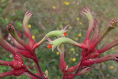 Λουλούδι δυτικών αυστραλιανό καγκουρό-ποδιών Στοκ εικόνες με δικαίωμα ελεύθερης χρήσης