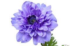 Λουλούδι υφασμάτων Anemone Στοκ φωτογραφία με δικαίωμα ελεύθερης χρήσης