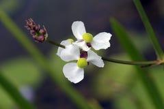 Λουλούδι υδρόβιων εγκαταστάσεων Στοκ φωτογραφίες με δικαίωμα ελεύθερης χρήσης
