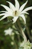 Λουλούδι φανέλας με Hover τη μύγα Στοκ εικόνες με δικαίωμα ελεύθερης χρήσης