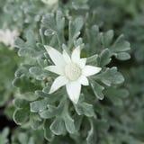 Λουλούδι φανέλας Στοκ εικόνες με δικαίωμα ελεύθερης χρήσης