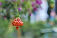Λουλούδι φαναριών Στοκ Εικόνες