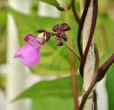 Λουλούδι φασολιών Στοκ φωτογραφίες με δικαίωμα ελεύθερης χρήσης
