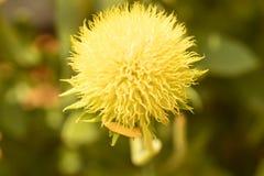 Λουλούδι φιλαρμονικών Gaillardia Στοκ φωτογραφίες με δικαίωμα ελεύθερης χρήσης