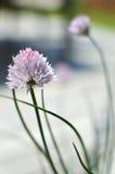 Λουλούδι φρέσκων κρεμμυδιών Στοκ Εικόνες