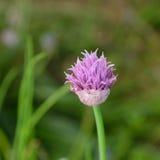 Λουλούδι φρέσκων κρεμμυδιών Στοκ Εικόνα