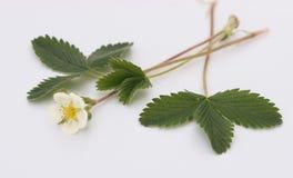 Λουλούδι φραουλών Στοκ φωτογραφίες με δικαίωμα ελεύθερης χρήσης