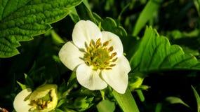 Λουλούδι φραουλών - Fragaria ananassa Ã- Στοκ εικόνες με δικαίωμα ελεύθερης χρήσης