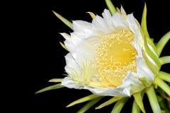 Λουλούδι φρούτων δράκων στην άνθιση (cactaceae hylocereus) Στοκ Φωτογραφία