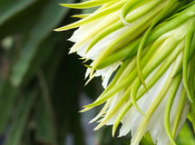 Λουλούδι φρούτων δράκων (Hylocereus SSP) Στοκ Φωτογραφία