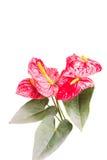 Λουλούδι φλαμίγκο ή λουλούδι αγοριών στο λευκό Στοκ φωτογραφία με δικαίωμα ελεύθερης χρήσης