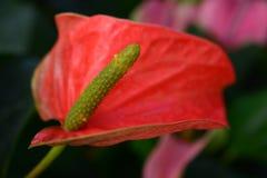 Λουλούδι φλαμίγκο ή Anthurium λουλούδι Στοκ φωτογραφίες με δικαίωμα ελεύθερης χρήσης