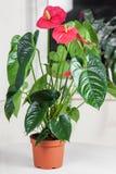 Λουλούδι φλαμίγκο Στοκ Φωτογραφίες