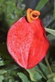 Λουλούδι φλαμίγκο Στοκ φωτογραφίες με δικαίωμα ελεύθερης χρήσης