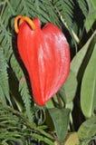 Λουλούδι φλαμίγκο Στοκ Φωτογραφία