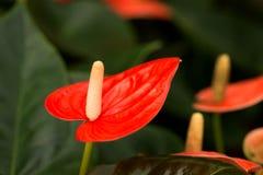 Λουλούδι φλαμίγκο Στοκ εικόνα με δικαίωμα ελεύθερης χρήσης
