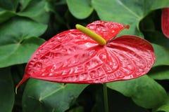 Λουλούδι φλαμίγκο Στοκ φωτογραφία με δικαίωμα ελεύθερης χρήσης
