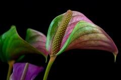 Λουλούδι φλαμίγκο Στοκ Εικόνα
