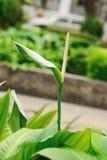 Λουλούδι φλαμίγκο Στοκ εικόνες με δικαίωμα ελεύθερης χρήσης