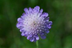 Λουλούδι χηρών Στοκ φωτογραφίες με δικαίωμα ελεύθερης χρήσης