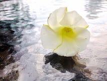 Λουλούδι χοανών Στοκ φωτογραφία με δικαίωμα ελεύθερης χρήσης