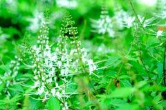 Λουλούδι χορταριών, τσάι της Ιάβας, εγκαταστάσεις τσαγιού νεφρών Στοκ εικόνα με δικαίωμα ελεύθερης χρήσης