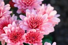 Λουλούδι χρυσάνθεμων στον κήπο Στοκ φωτογραφία με δικαίωμα ελεύθερης χρήσης