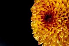 Λουλούδι χρυσάνθεμων στο μαύρο υπόβαθρο Στοκ Εικόνα