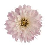 Λουλούδι χρυσάνθεμων Στοκ Φωτογραφία