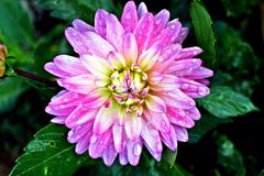 Λουλούδι χρυσάνθεμων Στοκ φωτογραφία με δικαίωμα ελεύθερης χρήσης