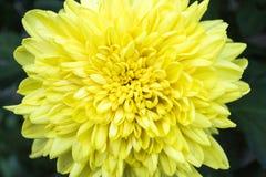 Λουλούδι χρυσάνθεμων Στοκ φωτογραφίες με δικαίωμα ελεύθερης χρήσης