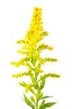 Λουλούδι χρυσοβεργών του Καναδά ή canadensis Solidago που απομονώνεται στο λευκό Στοκ Εικόνες
