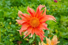 Λουλούδι χρώματος πεπονιών Στοκ Εικόνες