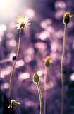 Λουλούδι χλόης στο ηλιοβασίλεμα, εκλεκτής ποιότητας αναδρομικός τόνος χρώματος Στοκ Εικόνες