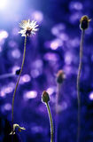 Λουλούδι χλόης στο ηλιοβασίλεμα, μπλε τόνος χρώματος Στοκ Εικόνες