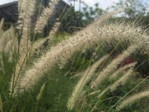 Λουλούδι χλόης Στοκ Φωτογραφία