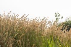 Λουλούδι χλόης Στοκ φωτογραφία με δικαίωμα ελεύθερης χρήσης