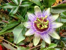 Λουλούδι λωτού Στοκ φωτογραφία με δικαίωμα ελεύθερης χρήσης