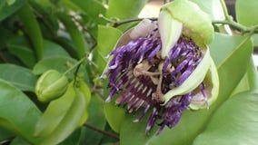 Λουλούδι λωτού Στοκ φωτογραφίες με δικαίωμα ελεύθερης χρήσης