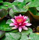 Λουλούδι λωτού Nymphaea, στοκ φωτογραφία