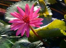 Λουλούδι, λωτός Στοκ φωτογραφία με δικαίωμα ελεύθερης χρήσης