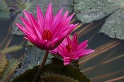 Λουλούδι, λωτός, Στοκ φωτογραφία με δικαίωμα ελεύθερης χρήσης