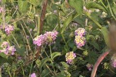 Λουλούδι δόξας στοκ εικόνες